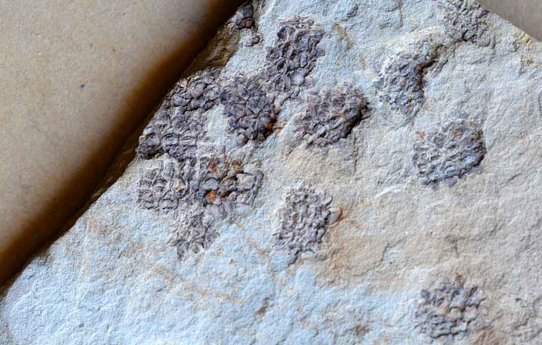 Fossil Allocasuarina, Miocene Manuherikia Group, New Zealand