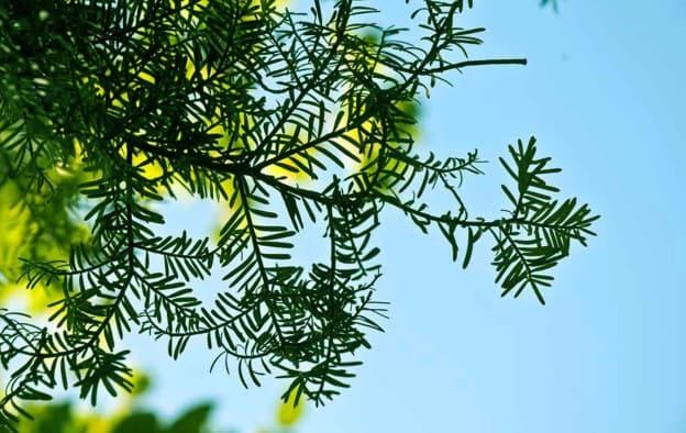 Matai (Prumnopitys taxifolia) foliage