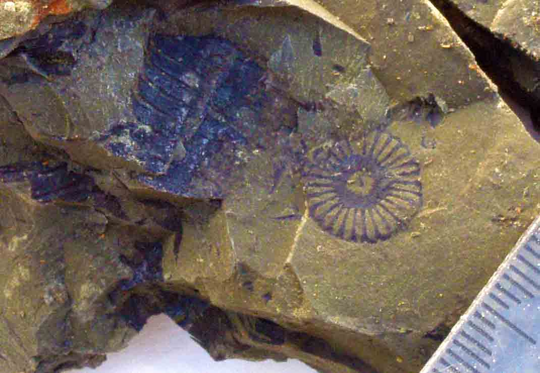 Equisetum fossil New Zealand Jurassic